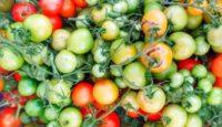 Co se zelenými rajčaty