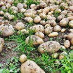 jak vypestovat brambory v trave