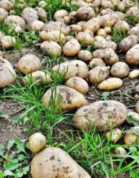 Jak vypěstovat brambory ve slámě
