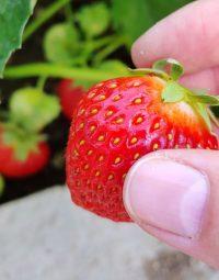 Jak ubránit jahody před kosy