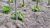 7 důvodů, proč mulčovat trávou